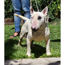 Bull Terrier - Servicio De Stud