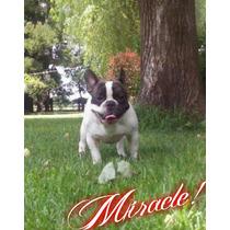 Bulldog Frances Para Servicio De Stud Excelente Macho !!!