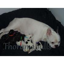 Bull Dog Frances Crema 3 Años En Servicio De Stud