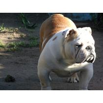 Buldog Ingles En Servicio De Stud Piasecki,s Rolex Bull