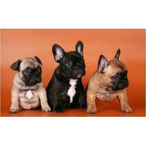 Bulldog Francés Cachorros F.c.a Excelentes Machos Y Hembras