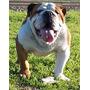 Bulldog Ingles Servicio Stud (precio A Convenir) Diee Goo