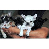 Bulldog Francés Cachorros Machos Con Fca!!!!