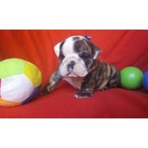 Hermosas Hembritas Bulldog Ingles