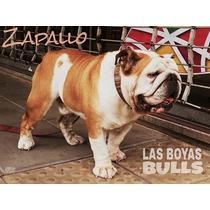 Bulldog Ingles En Servicio Zapallo De Las Boyas Bulls