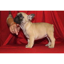 Bulldog Francés Color Fawn Hoy Ultima Hembra