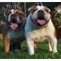 Bulldog Ingles Hembras De 1 Año Y 6 Meses