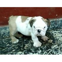 Hermosos Cachorros Bulldog Ingles Con F.c.a.