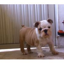 Bulldog Ingles Cachorros,60 Dias Listos Para Entregar. Se En