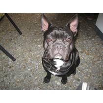 Excelente Bulldog Francés Ofrece Servicio De Stud !!!!