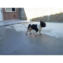 Hermoso Bulldog Frances Para Servir A Tu Hembra