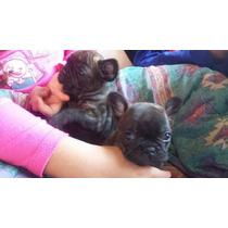 Cachorros Bulldog Frances Machitos Fca