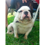 Bulldog Frances Servicio De Stud En Villa Urquiza