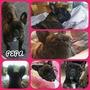 Hermosos Bull Dog Frances - Criadero Pepa De Mila
