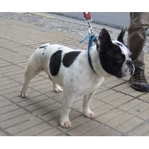 Bulldog Frances Macho Pied Para Servicio