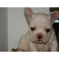 Imperdibles Cachorros Bulldog Frances !!