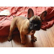 Bulldog Frances Hembra Roja De 4 Meses