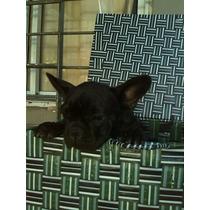 Bulldog Frances Cachorros Machos