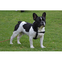 Bulldog Frances Vaquita Para Servicio De Stud