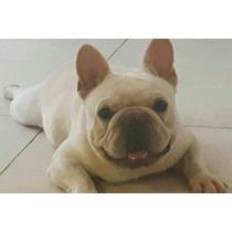 Bulldog Frances Crema Para Servicio