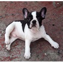 Bulldog Frances Hembras Vaquitas Heredable Parto Normal Fca