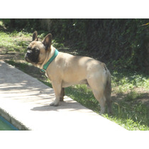 Bulldog Frances Fawn En Servicio De Stud