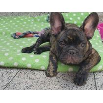 Cachorro Bulldog Macho Fca Excelente Linaje