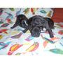 Cachorros Bulldog Frances. Fca.- Recien Nacidos