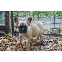 Bulldog Frances Macho Fawn