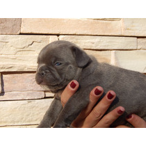 Bull Dog Frances Blue Cachorro Hembra