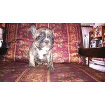 Bulldog Frances Criadero Il Mio Azienda Mascotas