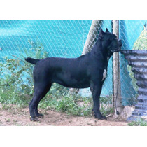 Xasha Custodi Nos Del Criadero Bellezza Italiana -cane Corso