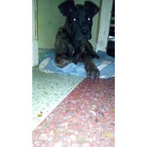 Vendo Exelentes Cachorros Cane Corso