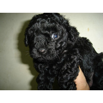 Caniche Macho Mini Toy Negro Azabache