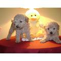 Hermosos Cachoros De Caniches Apricot Micro Toy !!!