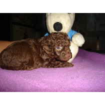 Caniches Mini Toy Macho Y Hembras Chocolate