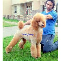 Caniches Gigantes / Cachorros Color Rojos, Machos Y Hembras.