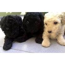 Cachorros Caniche Toy Mini Toy Machito Color Negro!!