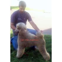 Cachorros De Caniches Gigantes Con Pedigrí Can Club Argentin