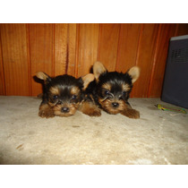 Hermosos Cachorros Raza Yorky Mini En La Plata.