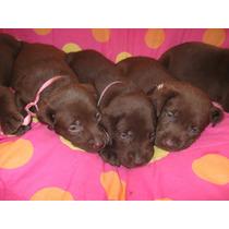 Excente Cachorro Labrador Chocolate Macho, Imperdible!!