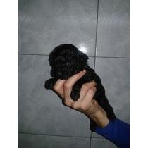 Hermosos Cachorros De Caniches Micro Toy Unicos!!!!!