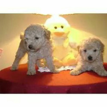 Hermosos Cachorros De Caniches Apricot Micro Toy!!!