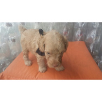 Hermoso Caniche Toy Apricot (macho) Padres Pequeños