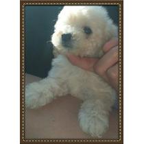 Hermosos Cachorros De Caniche Micro Toy Blancos!!!