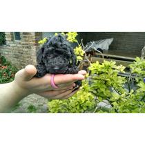 Caniche Micro Toy Negro Azabache