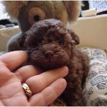 Caniche Mini Micro Machitos Apri Rojos Cachorros!! Consulte