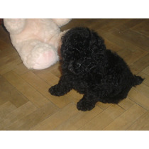 Caniche Toy Negro Azabache, Machito..$2900,00-