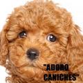 Caniches Toy Hembras Marrones Negras Apricot Unicas!! Envios