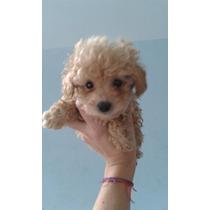 Caniche Mini Toy- Toy Cachorros Hermosos Miralos